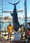 Record Blue Marlin - Cabo - 2011